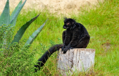 Black lemur in Friguia zoo
